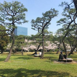 松越しの桜の写真・画像素材[1093386]