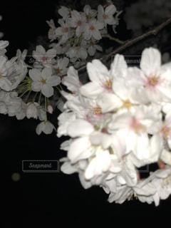 夜桜の写真・画像素材[1095151]