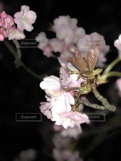 夜桜の写真・画像素材[1095154]