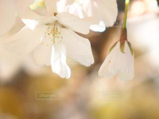 花の写真・画像素材[1093225]