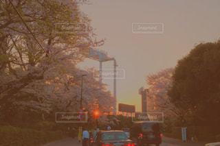 夕日に照らされた桜の写真・画像素材[1094332]
