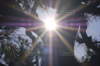松の木から覗く日差しの写真・画像素材[1221810]