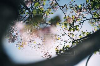 葉桜の写真・画像素材[1093733]