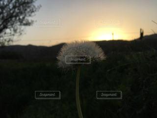 タンポポと夕焼けの写真・画像素材[1131021]