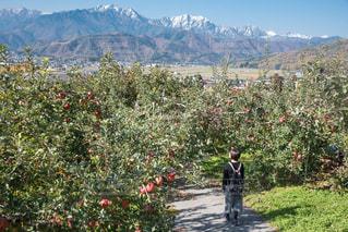 りんごと北アルプスの写真・画像素材[1113057]