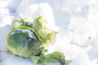 雪中キャベツの写真・画像素材[1113089]