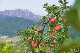 自然の中のりんごの写真・画像素材[1113103]