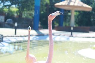フラミンゴの写真・画像素材[1102906]