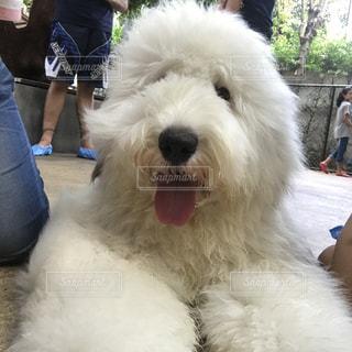 犬の写真・画像素材[1094391]