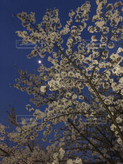 夜桜の先に月の写真・画像素材[1094487]