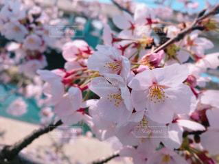 お花見の写真・画像素材[1095468]
