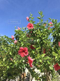 真夏のハイビスカスの写真・画像素材[1123629]