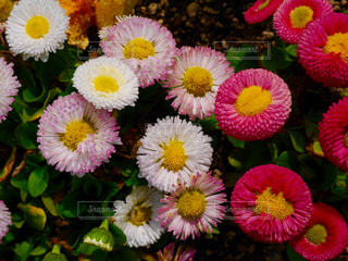 花の写真・画像素材[1096199]