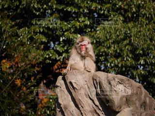 サルの写真・画像素材[1096385]