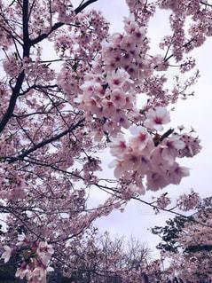 桜の写真・画像素材[1097219]