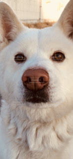 カメラを見て茶色と白犬の写真・画像素材[1116143]