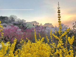 春の景色と夕日と飛行機雲の写真・画像素材[1119607]