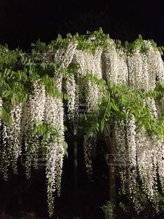 幻想的な藤の花の写真・画像素材[1096765]