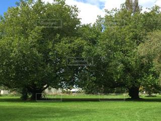 仲良し夫婦の木の写真・画像素材[1096890]