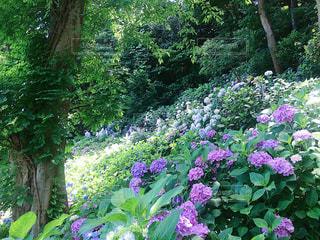 紫陽花の写真・画像素材[1098750]