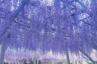 藤の花の写真・画像素材[1098767]