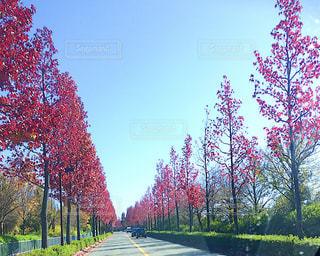 紅葉の並木道の写真・画像素材[1137062]