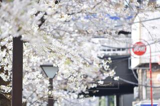 春のおとずれ、人のにぎわい。の写真・画像素材[1097396]