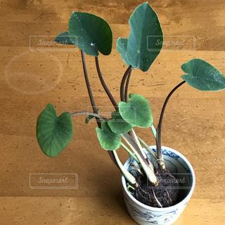 八頭の芽の写真・画像素材[2776853]