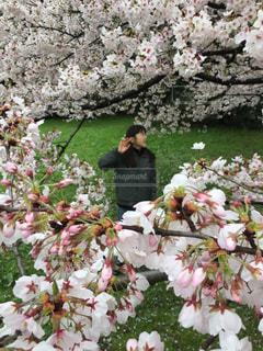 桜の向こう側の写真・画像素材[2777162]