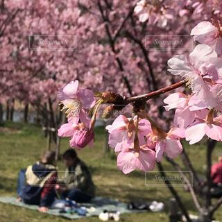 ピンクの花の群の写真・画像素材[2784320]