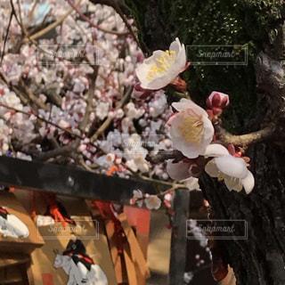 梅の写真・画像素材[2784325]