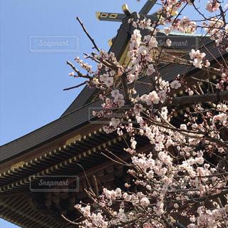 梅の湯島天神の写真・画像素材[2784328]
