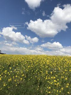 野原の黄色い花の写真・画像素材[3250382]