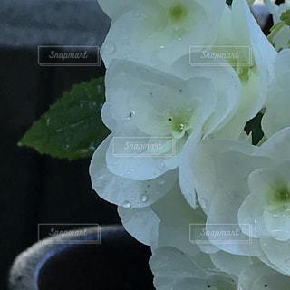 柏葉紫陽花の写真・画像素材[3399737]