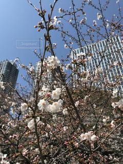 桜横切るビル群の写真・画像素材[1103290]