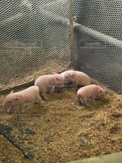 4匹の子豚の写真・画像素材[1097907]