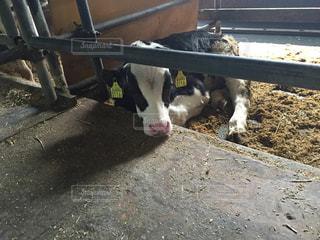 寝そべる仔牛の写真・画像素材[1097908]