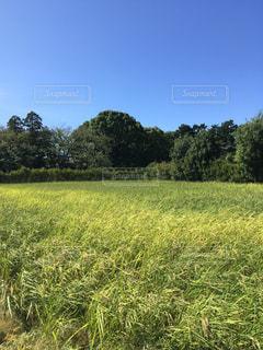 青空と緑と稲の写真・画像素材[1098081]