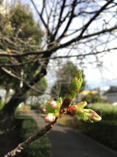 桜のつぼみの写真・画像素材[4255636]