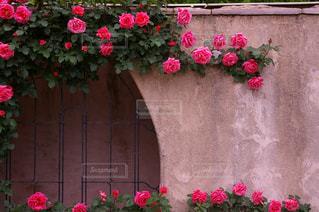 ピンクの薔薇の写真・画像素材[1104126]