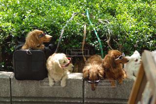 サングラス犬の写真・画像素材[1109490]