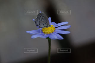 青い花とシジミチョウの写真・画像素材[1116694]
