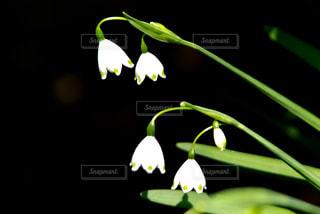 ベルのような小さな白い花の写真・画像素材[1117221]