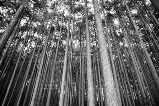 杉林の写真・画像素材[1249560]