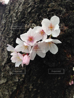 可愛い桜の写真・画像素材[1098406]
