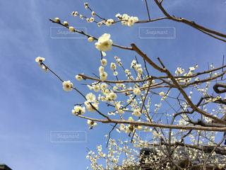 北野天満宮の梅の写真・画像素材[1098453]