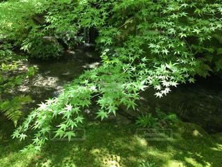 京都春の青紅葉の写真・画像素材[1098656]