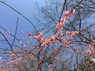 ピンクの梅の写真・画像素材[1098773]