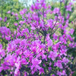 近くで見つけた紫の花の写真・画像素材[1127442]