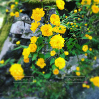 鮮やかな黄色の花達の写真・画像素材[1127443]